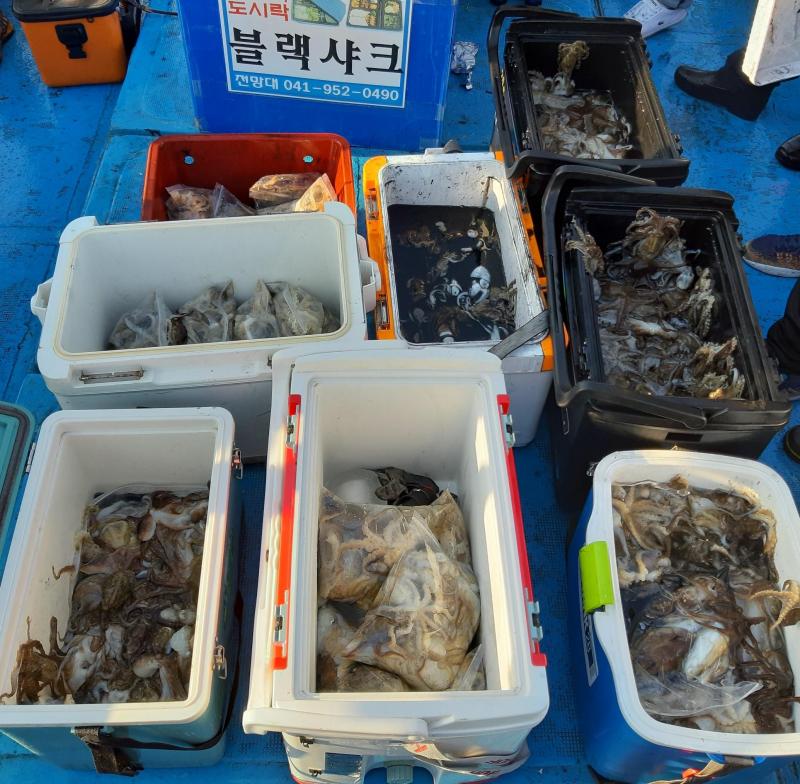 블랙샤크호 주꾸미 조황(10월 13일)