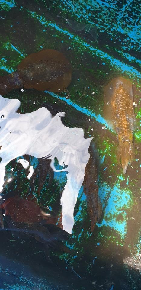 8월4일 뉴해풍호 첫 무늬오징어 출조