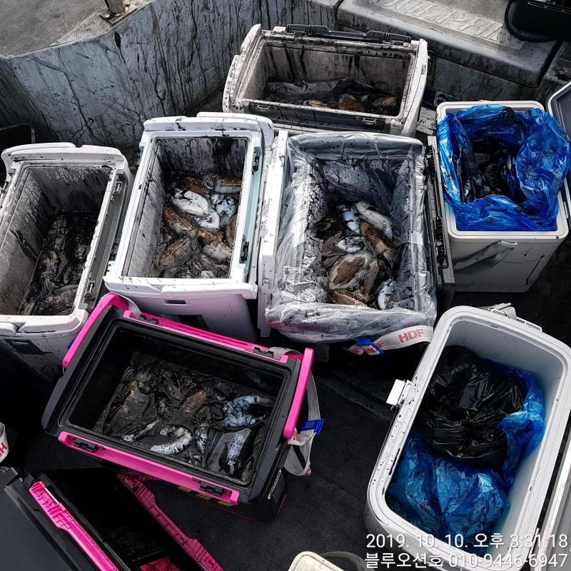 블루오션호 10월 10일 갑오징어 조황입니다.