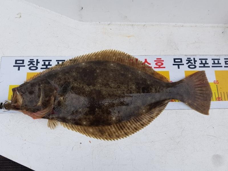 """에이스호 7 . 7 (일) 무창포프로낚시 """"대광어사냥꾼"""" 에이스호 광어 다운샷 조황보고.."""
