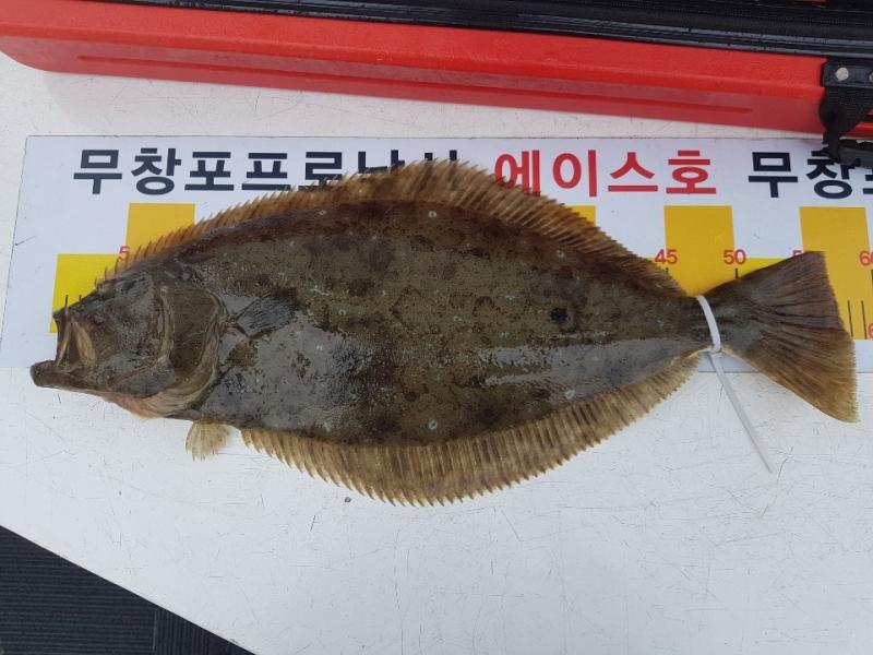 """에이스호 7 . 14 (일) 무창포프로낚시 """"대광어사냥꾼"""" 에이스호 광어 다운샷 조황보고.."""
