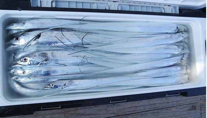 [2019-05-21] [고흥/나로도항-삼산낚시]  먼바다 갈치 다녀왔습니다.  대갈치와 함께 잔씨알도 많이 나왔습니다.  계속 출항합니다. (이번주는 목-우럭 _ 금,토-갈치) 예약,문의)) 젊은김선장 010-4848-0776