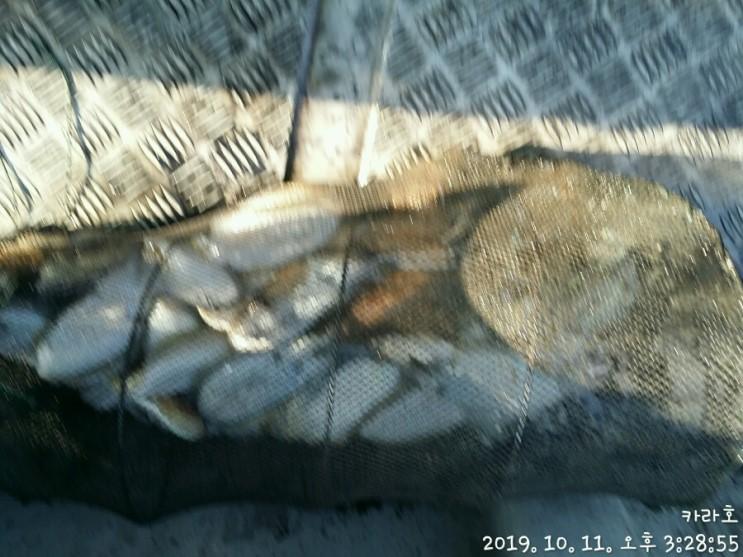 10월 11일 12일 카라호 갑오징어 조황입니다.
