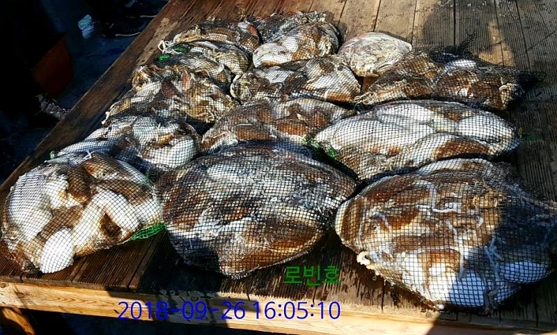 사리물때 갑오징어 대박조황